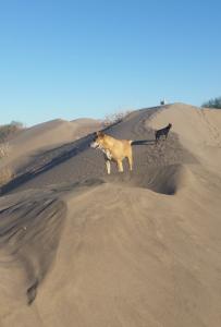 Hunde auf Düne